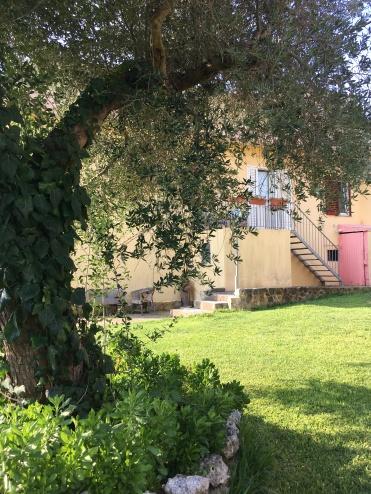 Ulivo secolare nel giardino della Casa Vacanze il Sole a Casamassella (LE)